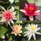 Charles B.Thomas Waterlily Collection